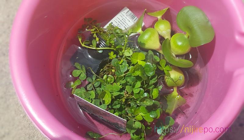 メダカビオトープに入れる水草ホテイアオイ、ウォータークローバー、ウォーターバコパ