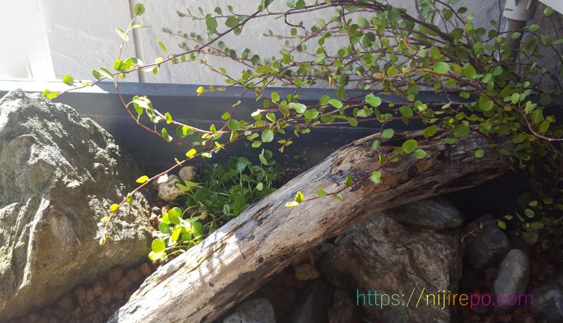 メダカビオトープレイアウト流木とウォータークローバームチカ、ワイヤープランツ