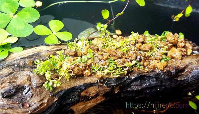 流木のくぼみに植えたパールグラス