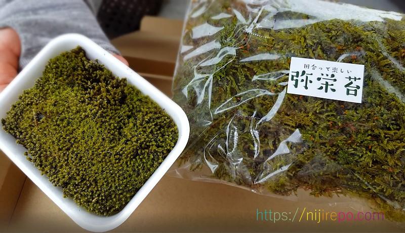 苔リアンのスナゴケと弥栄苔のハイゴケ