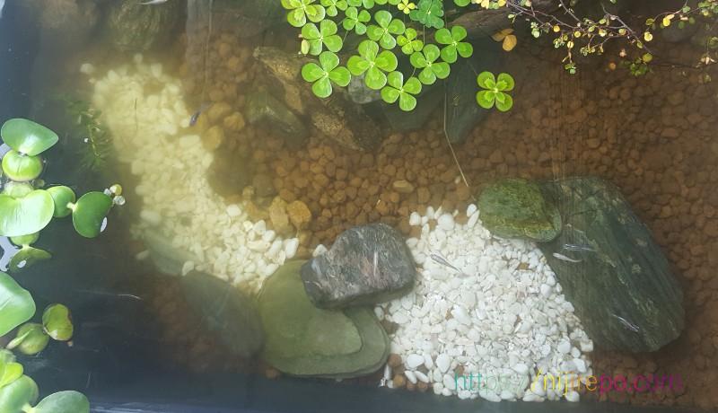 緑白色に濁ったビオトープの水