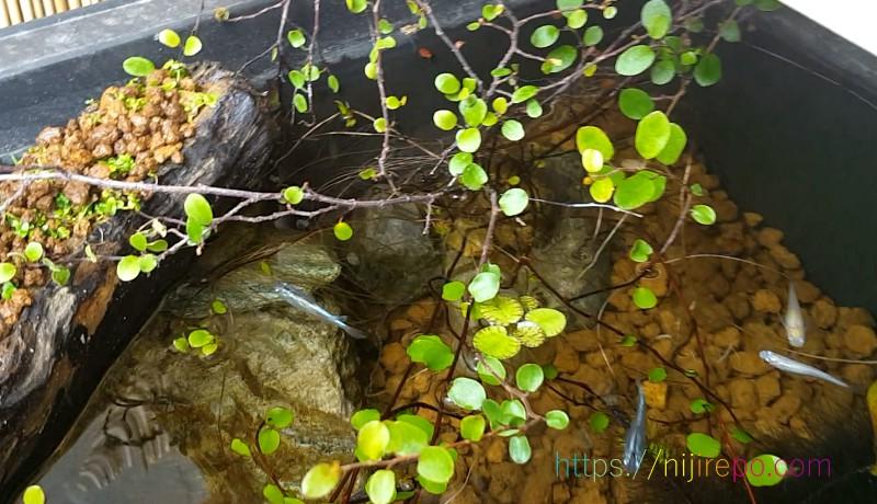 根が伸びてきた水耕栽培のワイヤープランツ